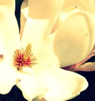 Magnolia 2 by JulieDing