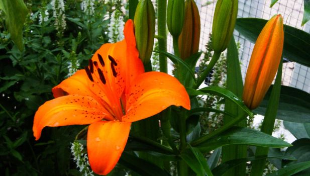 Asian Lilies by jwilliams516