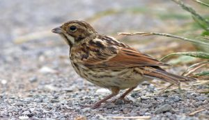 Reed bunting by Slinky-2012