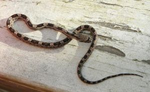 Rat Snake..on the porch by duggiehoo