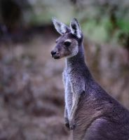 Kangaroo Pose for Sara by MayEbony