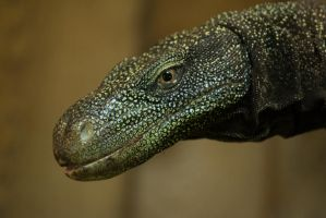 Salvadori's monitor by Parides