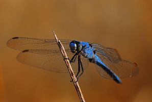 Blue dragonfly by Amersill