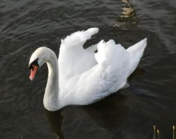 Fluffed out swans by Rozrr