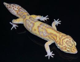 Albino Eclipse Leopard Gecko by Phoenix-Cry