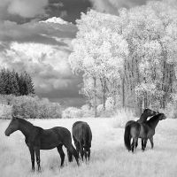 Four Horses infrared... by MichiLauke