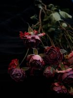 dried roses 2 by rikuforstock
