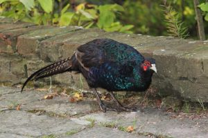 Melanistic Pheasant 2 by RixResources