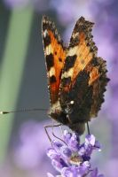 Butterfly Stock 42 by Malleni-Stock
