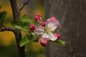 Apple Blossom by Escara40