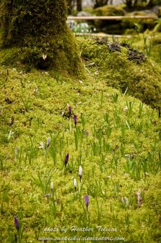 Peaking Croci by HeatherTelesca