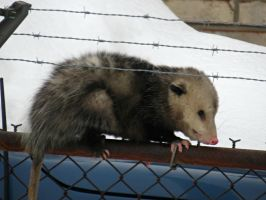 Opossum on the Fence by Michies-Photographyy