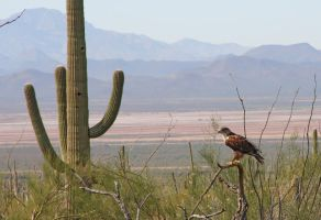 Hawk and Cactus 4040 by mammothhunter