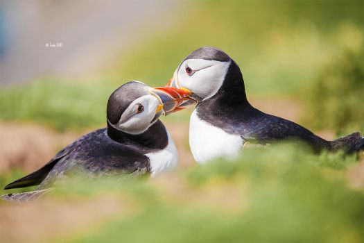 Puffins by Lain-AwakeAtNight