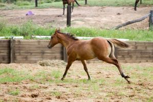 KM foal canter side view by Chunga-Stock