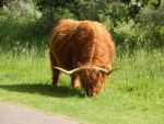 Highland cattle 14 by queenofeagles