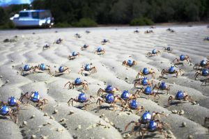 Soldier crab march by Lanceat1tin