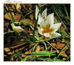 Crocus by ShlomitMessica
