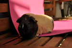 Guinea pig stock 08 by windfuchs
