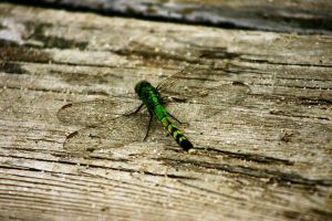 Green Dragonfly by Geak-of-Nature