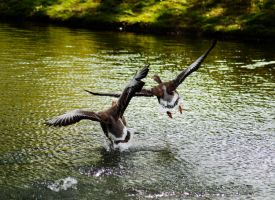 ducks.. by Espah