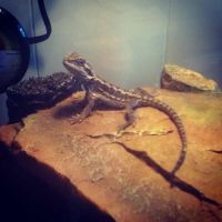 My Baby Bearded Dragon by chkimbrough