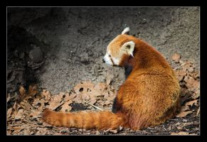 Red Panda II by Alex999