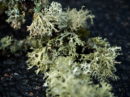 Lichen it on the Ground by Molosseraptor