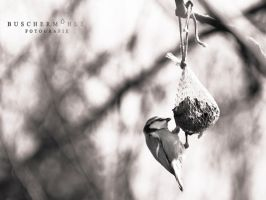 Tomtit by buschermoehle-photo