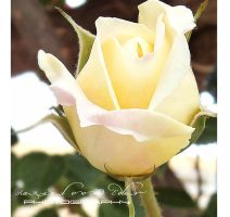 A rose for you by RazielMB-PhotoArt