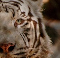 Eye of the Tiger by Nativelea-photo
