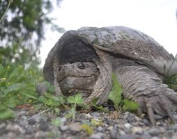 snapping Turtle by iamB-bat