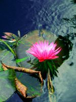 ++ waterlily +enchantment by charmbuster