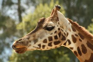 Another Giraffe Profile by FreeakStock