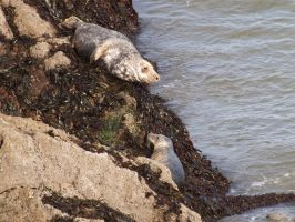 Local wild seal colony at Worms Head 8 by nonyeB