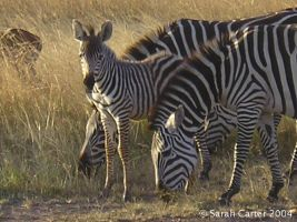 Zebras and baby by sarahkristine