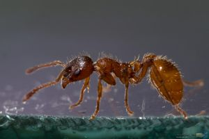 Ant Photoshooting #2 by Puttee