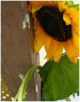 Sunflower - 2 by perfect-tragedy