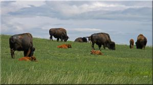 Buffalo in June by Fel2Norak