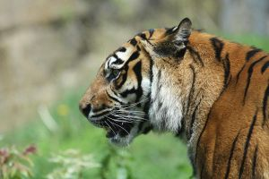 Tigress 14 by Tigerlover4