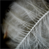 Feather - Enlarger I. by RowennaCox