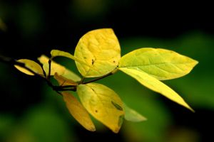 yellow leafs by anmaria