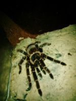 MY SALMON PINK BIRDEATER TARANTULA BERTHA by trevj