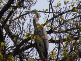 Heron in a Tree by SuicideBySafetyPin