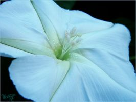 Hedge False Bindweed by sparkpenguin