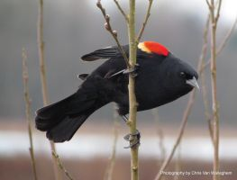 Red-winged Blackbird Alert by vanwaglajam