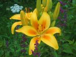 Yellow lily by desertrose2011