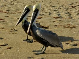 Pelican Pair by Matthew-Beziat