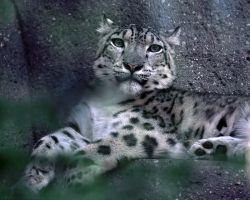 Dappled Snow Leopard by robbobert