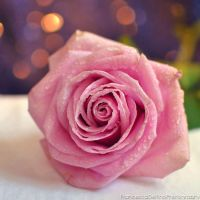 Pink rose II by FrancescaDelfino
